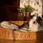 Weidenkorb 90 cm für Hunde sind bequem und urgemütlich aus geschälten, naturbraunen Vollweiden der Hundekorb ist äußerst robust der Korb ist ein reine Naturprodukt